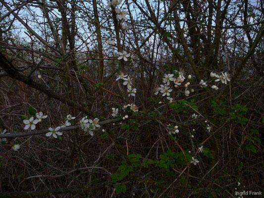 Prunus spinosa - Schlehe