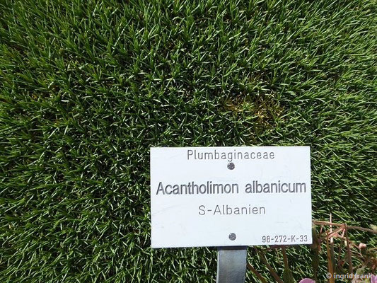 Acantholimon albanicum