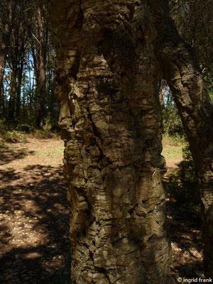 Quercus suber - Kork-Eiche (Insel Elba)