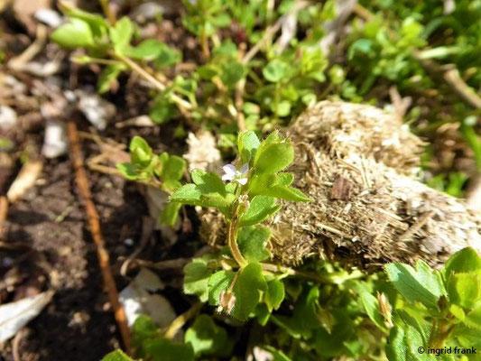 Veronica hederifolia - Efeublättriger Ehrenpreis