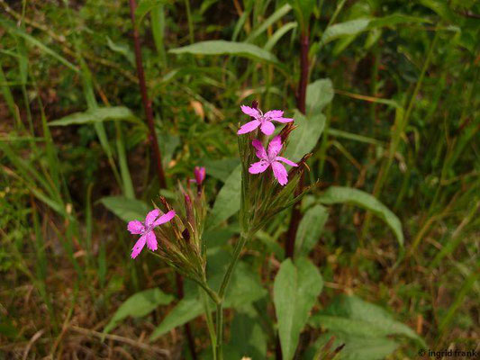 Dianthus armeria / Raue Nelke