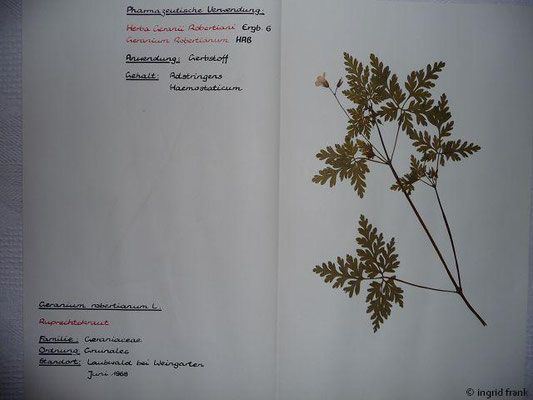 (57) Geranium robertianum - Ruprechtskraut