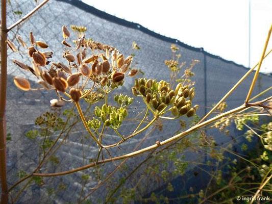 Pastinaca sativa - Gewöhnlicher Pastinak