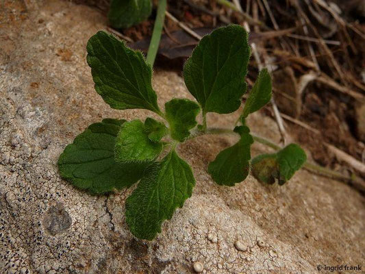 Bystropogon canariensis - Kanaren-Strauchminze