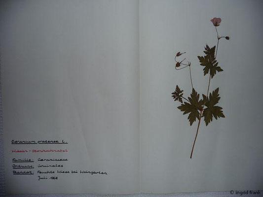 (56) Geranium pratense - Wiesen-Storchschnabel