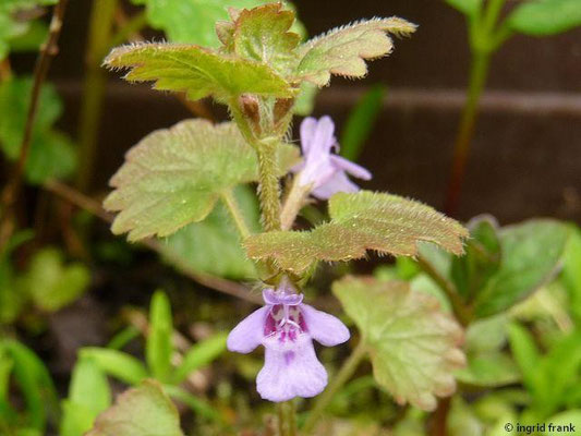 04.05.2015 - Glechoma hederacea, Gundermann
