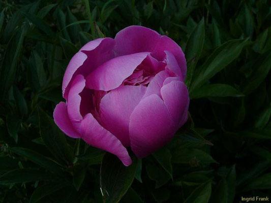 Paeonia officinalis - Garten-Pfingstrose    V-VI