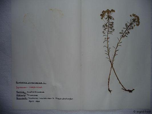 (66) Euphorbia cyparissias - Zypressen-Wolfsmilch