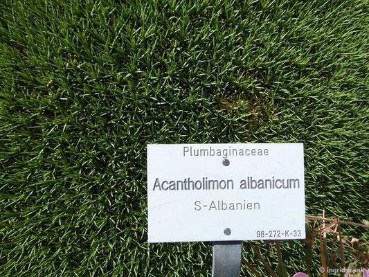 Acantholimon albanicum  (Albanien-Endemit; Botanischer Garten Universität Würzburg)