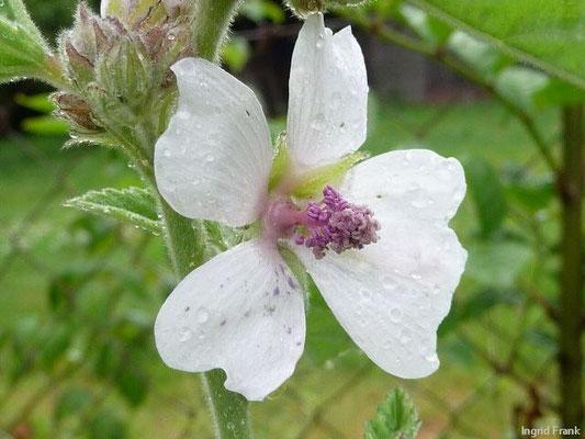 27.07.2010-Althaea officinalis - Eibisch