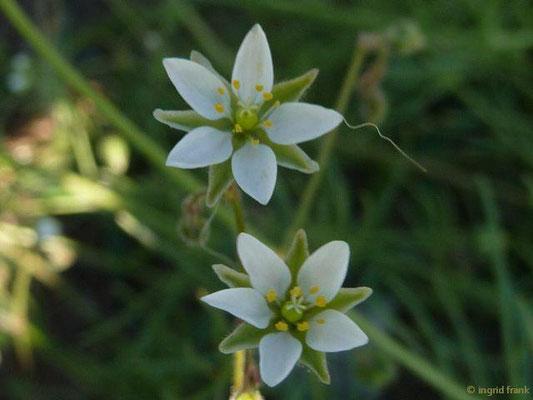 Spergula arvensis - Acker-Spark