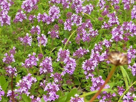 Thymus spe. / Thymian-Arten
