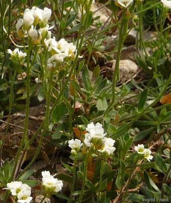 Draba dubia - Eis-Felsenblümchen    V-VII