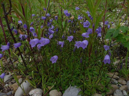 Campanula rotundifolia / Rundblättrige Glockenblume