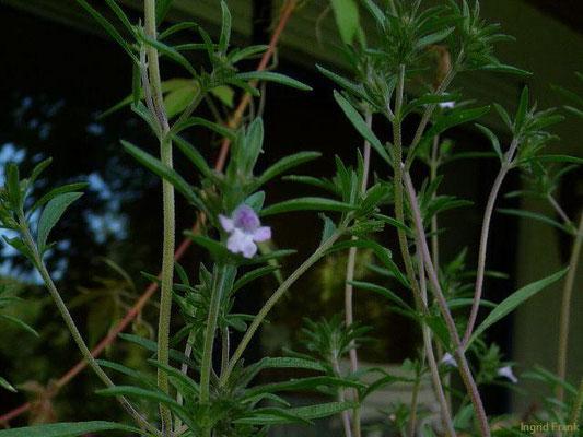 Satureja hortensis - Echtes Bohnenkraut    VII-IX