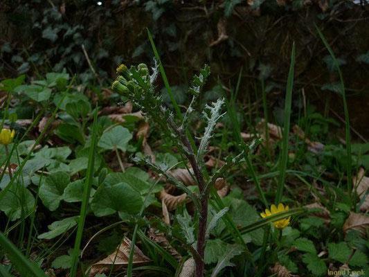 13.04.2010-Senecio vulgaris Gewöhnliches Greiskraut oder Kreuzkraut
