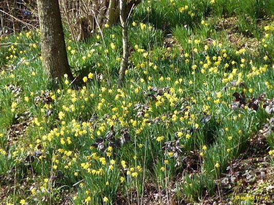 Narcissus pseudonarcissus / Osterglocke, Gelbe Narzisse