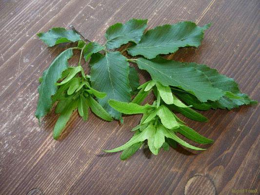 Carpinus betulus - Hainbuche