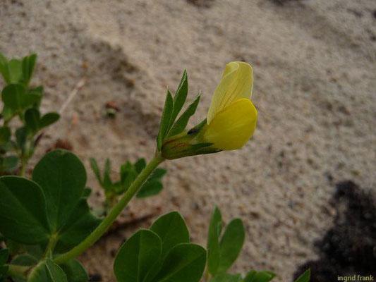 Lotus maritimus - Hellgelber Hornklee, Gelbe Spargelerbse