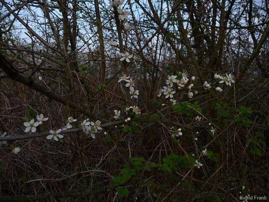 19.04.2010-Prunus spinosa - Schlehe, Schwarzdorn