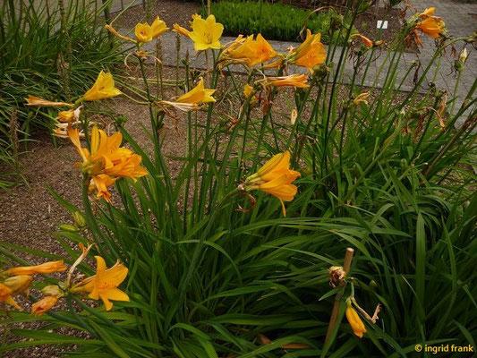 Hemerocallis esculenta - Essbare Taglilie