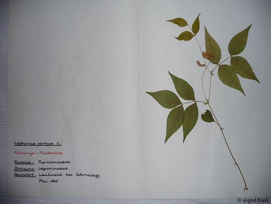 (42) Lathyrus vernus - Frühlings-Platterbse