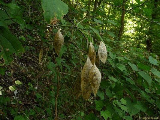 Lunaria redivia - Ausdauerndes Silberblatt