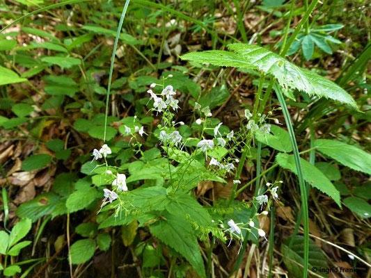 Veronica urticifolia / Nesselblättriger Ehrenpreis