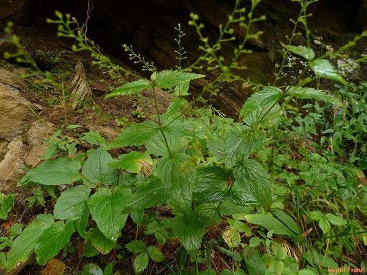 Veronica urticifolia - Brennnesselblättriger Ehrenpreis