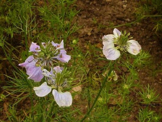 Nigella arvensis / Acker-Schwarzkümmel    VII-IX