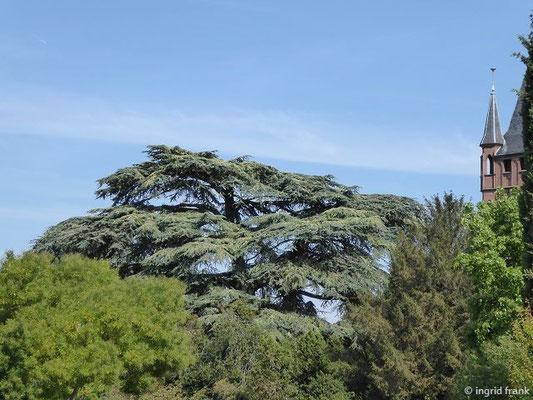 Cedrus libani - Libanon-Zeder