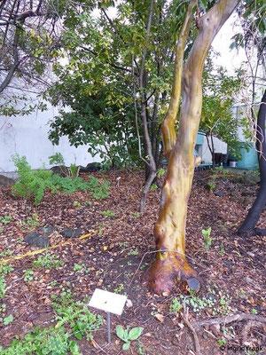 Arbutus canariensis - Kanarischer Erdbeerbaum