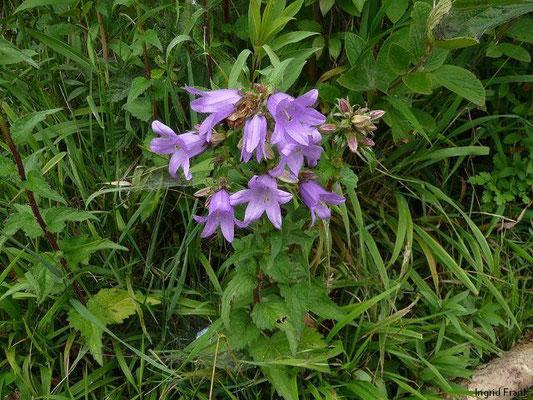 Campanula trachelium - Nesselblättrige Glockenblume