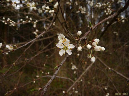 Prunus spinosa / Gewöhnliche Schlehe, Schwarzdorn