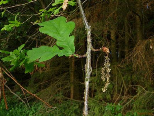 29.04.2011-Quercus robur - Stiel-Eiche