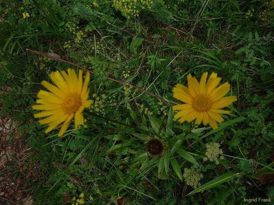 Buphtalmum salicifolium - Weidenblättriges Rindsauge