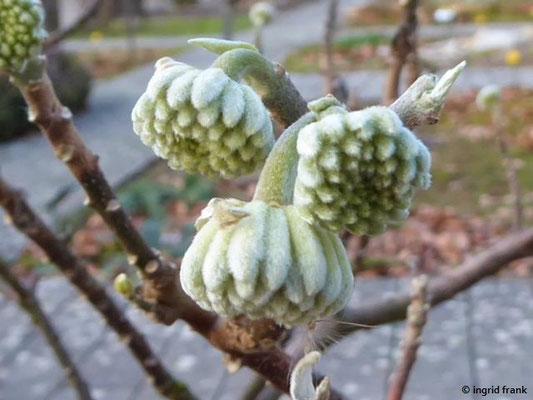 Edgeworthia chrysantha - Japanischer Papierbusch (Botanischer Garten Universität Heidelberg)