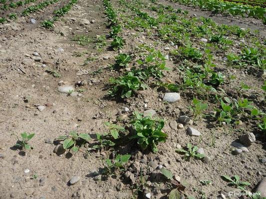 Valerianella locusta - Feldsalat