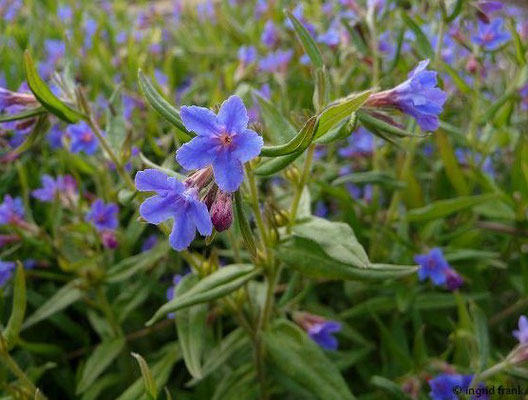 Buglossoides purpurocarulea - Purpurblaue Rindszunge (Botanischer Garten Dresden)