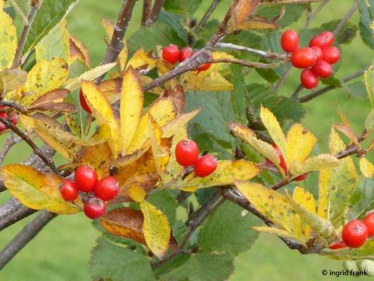 Sorbus chamaemespilus / Zwerg-Mispel