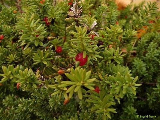 Podocarpus nivalis - Steineibe   (Botanischer Garten Leipzig)