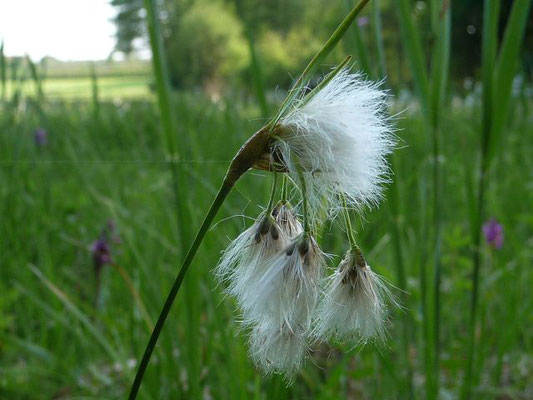 Eriophorum spec. / Wollgras-Arten