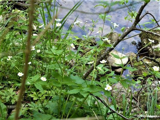 Ranunculus aconitifolius - Eisenhutblättriger Hahnenfuß