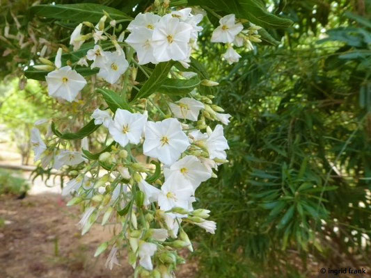 Solanum laxum - Jasmin-Nachtschatten    I-XII