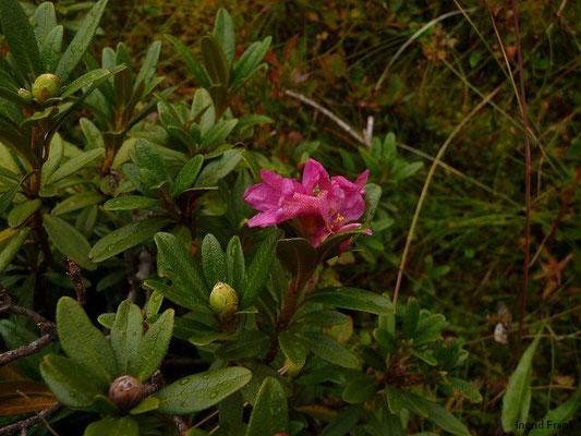 Rhododendron ferrugineum / Rostblättrige Alpenrose