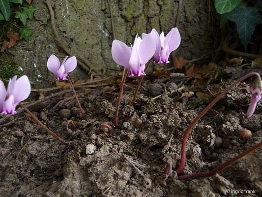 Cyclamen hederifolium -Efeublättriges Alpenveilchen (IX)