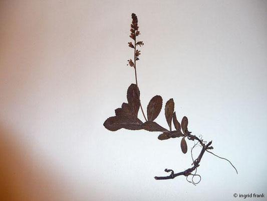 (109) Veronica officinalis - Wald-Ehrenpreis