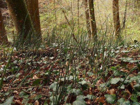 Equisetum hyemale - Winter-Schachtelhalm