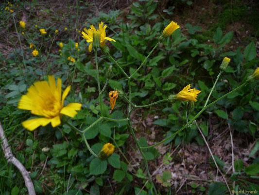 Hieracium murorum / Wald-Habichtskraut