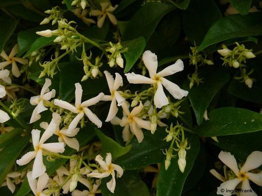 Trachelospermum jasminoides - Falscher Jasmin, Sternjasmin